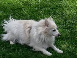 american eskimo dog small white dog diary online july 2014