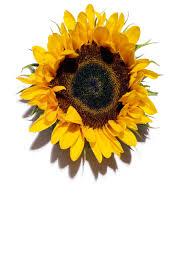 body fit anti cellulite contouring expert anti cellulite cream sunflower