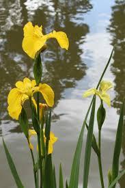 Iris Flag The Iris U2013 A Star In All Gardens Accent Garden Designs