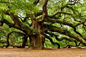 oak tree with wide branches 4241336 1280x852 all for desktop