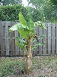 banana tree care information on hardy banana tree growing
