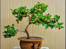 small trees grown in containers