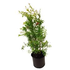 Potted Patio Trees by Fruit Trees U0026 Plants Edible Garden The Home Depot