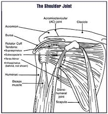Subscapularis And Supraspinatus Supraspinatus Muscle And Tendon Radiology Reference Article