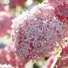 pink hydrangea arborescens pink annabelle invincibelle spirit
