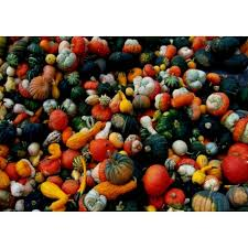ornamental squash mix seeds cucurbita