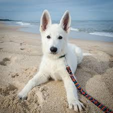 australian shepherd or german shepherd best 25 white shepherd ideas only on pinterest white dogs pets