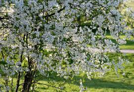 tree with white flowers stock photo blossoming tree with white flowers image dt21122240