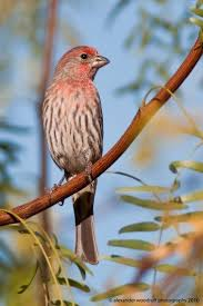 9 best buntings and new world sparrows emberizidae images on