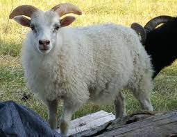 ram lambs for sale at green heart farm in vermont