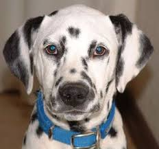 dalmatian meanings pics u0026 breed