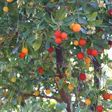 strawberry tree for sale fruit trees strawberry