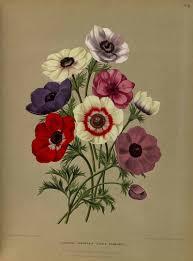 anemone coronaria l album van eedan haarlem u0027s flora 1872