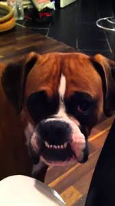 boxer dog funny boxer dog teeth funny youtube