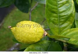 etrog for sale etrog stock photos etrog stock images alamy