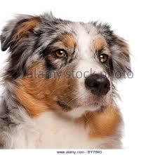 australian shepherd mit 6 monaten australian shepherd dog black white stockfotos u0026 australian