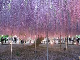 cool japan next enjoying flower season wisteria