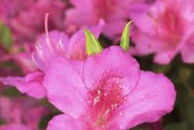how to care for indoor ornamental azalea trees home guides sf gate
