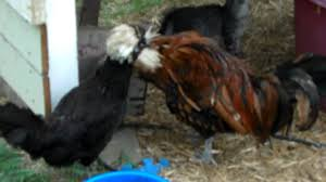 goldie and phylis our polish rooster and hen youtube