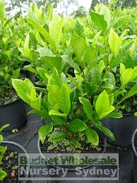 gardenia magnifica 200mm pot budget wholesale nursery sydney