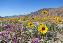 anza borrego wildflowers wildflowers dormant for years bloom across california fox17