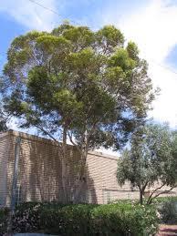 native plant nursery drought tolerant evergreen trees u2013 savingourboys info