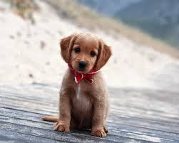 100 cute puppy description wallpaper above is cute