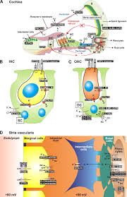 Anatomy And Physiology Ear Functional Significance Of Channels And Transporters Expressed In
