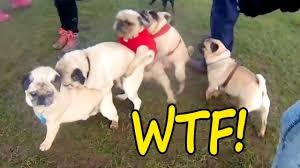 boxer dog vine try not to laugh watching funny vines animals compilation 2017