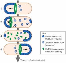 how do bacteria localize proteins to the cell pole journal of