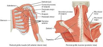 Shoulder Pain In Bench Press Press The Kettlebell U2014for Healthy Shoulders And A Big Bench Press