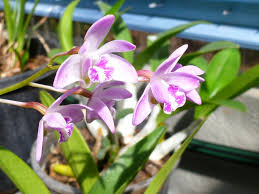 what plants are native to australia australian native orchids gardening with angus