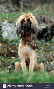 afghan hound shaved afghan hound stock photo royalty free image 1552075 alamy