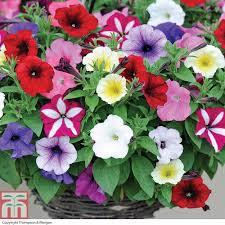 petunia flowers petunia easy wave ultimate mixed plants thompson