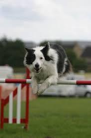 afghan hound agility relax i u0027ve got this one basil a pembroke welsh corgi at the