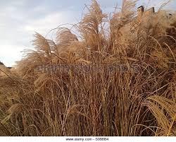 ornamental grass against sky stock photos ornamental grass against