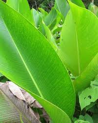 Rust Disease On Plants - fact sheet heliconia rust 237