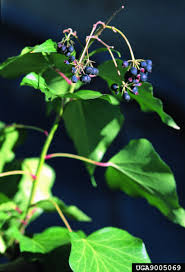 virginia native plants list 5 non native plant species to be concerned about in hampton roads