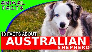 australian shepherd service dog australian shepherd aussie dogs 101 interesting facts