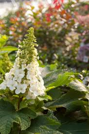 when to prune native plants hydrangeas how to prune them hgtv