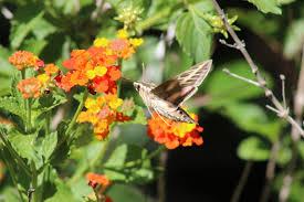 hummingbird moth with lantana free stock photo public domain