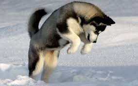 free husky puppy wallpapers picture long wallpapers