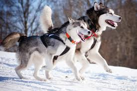 american eskimo dog vs keeshond what are all the other types of dogs that are similar to a husky