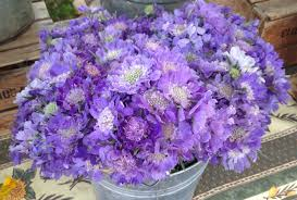 June Flowers - plum sage flowers seasonal june flowers