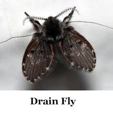 Identifying Flying Insects ThriftyFun - Small flies around kitchen sink