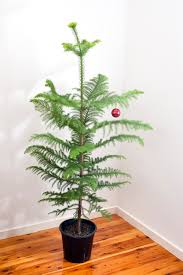 photo of natural norfolk pine christmas tree free christmas images