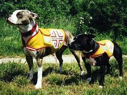 american pit bull terrier zucht staffordshire bullterrier wikiwand