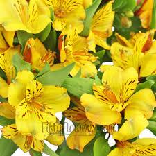 yellow lilies yellow peruvian lilies