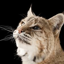 lynx national geographic