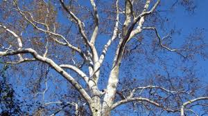 white tree of winter southern living
